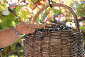 uva-vino-vendemmia-tramonti-costiera-amalfitana-fotografo-salvatore