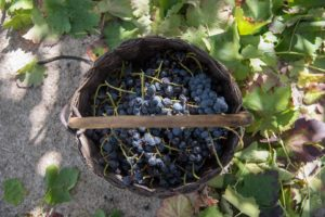 cesto-uva-vino-vendemmia-tramonti-costiera-amalfitana-fotografo-salvatore